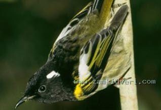 Нажмите на изображение для увеличения Название: птица Хихи.jpg Просмотров: 310 Размер:10.8 Кб ID:17378